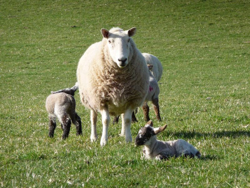 mother-nad-lambs